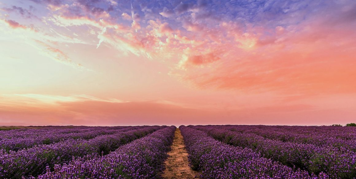 photo-lavender-flower-field-under-pink-sky-1920